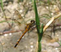 Dragonfly, July 2005
