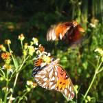 """""""Butterflies, September 2005"""" by cmclaughlin"""