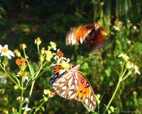 Butterflies, September 2005