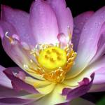 """Pinkish Purple Water Lilly with Yellow Seed Pod 7-"" by faf1967"