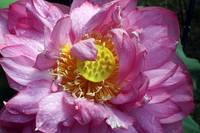 Pinkish Purple Water Lilly with Yellow Seed Pod 7-