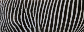 Zebra Coat Number 1