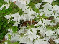 Shelby_in_White_Flowers