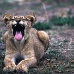 """Lioness Yawning"" by NatGeo"