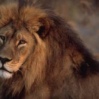 African Lion by National Geographic