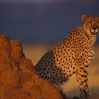 Male African Cheetah by National Geographic