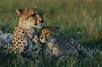 Female Cheetah and her Cub