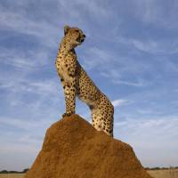 Cheetah King of the Jungle by National Geographic