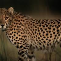 Cheetah in the Grass by National Geographic
