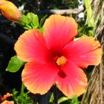 """Hibiscus, November 2004"" by cmclaughlin"