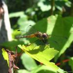 """""""Dragonfly, June 2005"""" by cmclaughlin"""