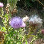 """Thistles, May 2007"" by cmclaughlin"