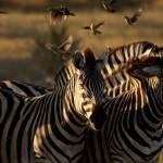 """zebra3"" by malcolmbowling"
