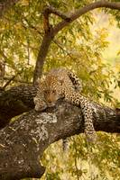 leopardfemale4