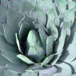 """""""Agave-Maria"""" by ThePictureMonkey"""