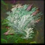 """""""Fractal Ferns"""" by AnnStretton"""