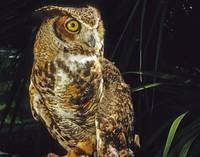Great Horned Owl Bird
