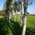 """Stand of Silver Birch Trees"" by JohnGaffen"