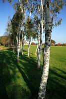 Stand of Silver Birch Trees