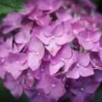 """""""Classic Hydrangea"""" by whitneybee"""