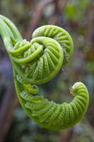 Cloud Forest Fern