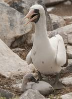 Nazca booby and young