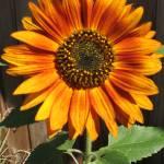 """Sunflower"" by RussellRice"