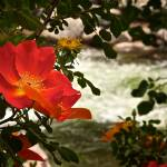 """Rose by Vail Stream"" by JannArtPhotography"
