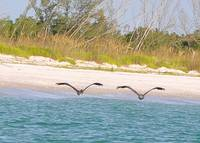 Pelicans in Synchronized Flight