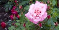 Visby Rose