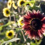 """Sunflower"" by Sam_Turgeon"