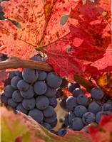 Fall Wine Grapes