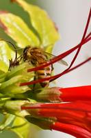 Bee On Red Flower III
