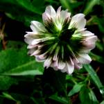 """Clover Flower"" by chrisbutler"