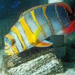 """""""Fish Harlequin Tuskfish"""" by kphotos"""