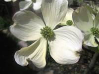 Dogwood--full bloom