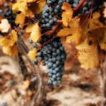 """""""Autumn Vine"""" by heathermuro"""