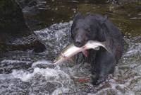 Black Bear Salmon Fishing One