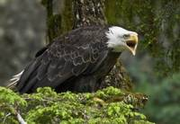 Territorial Bald Eagle