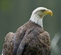 Bald Eagle Closeup, Anan Creek, Alaska