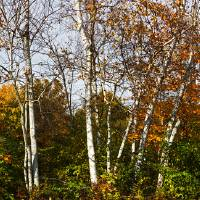 Strand of Birch Trees in Autumn by Jim Crotty