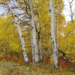 """Autumn Aspen"" by SandCreekVentures"