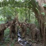 """Elephant Chorus deep in the rainforest"" by StephanieDRoeser"