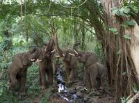Elephant Chorus deep in the rainforest