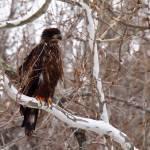 """""""Bald Eagle (Juvenile)"""" by KenThomas"""