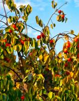 Fall Persimmon Tree in Fruit