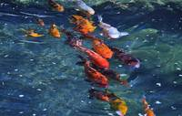 School of Koi