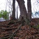 """""""Roots"""" by BearDancerStudios"""