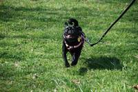 Pug run in the sun!