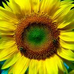 """""""Sunflower"""" by kgedesign"""